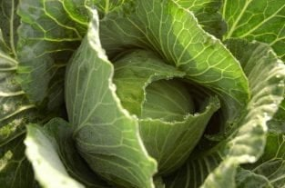 Cabbage Leaves And Breastfeeding - Does It Really Help?