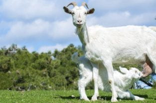 Goat's Milk Formula - Is It Closest To Breastmilk?